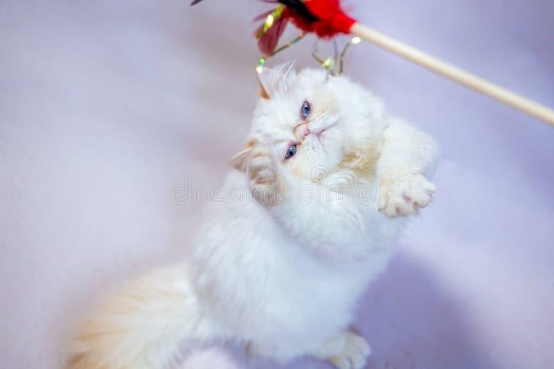 Perzische kat een lichte achtergrond royalty-vrije stock foto