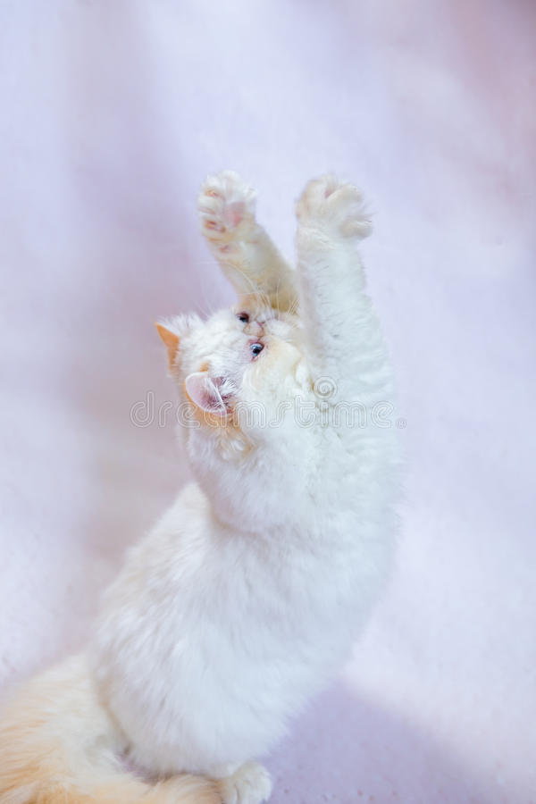 Perzische kat een lichte achtergrond stock fotografie