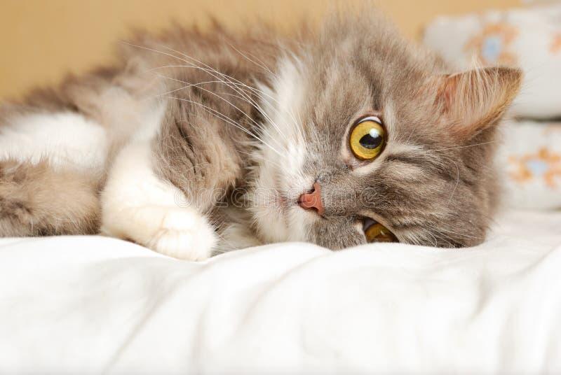 Perzische kat op bed stock foto