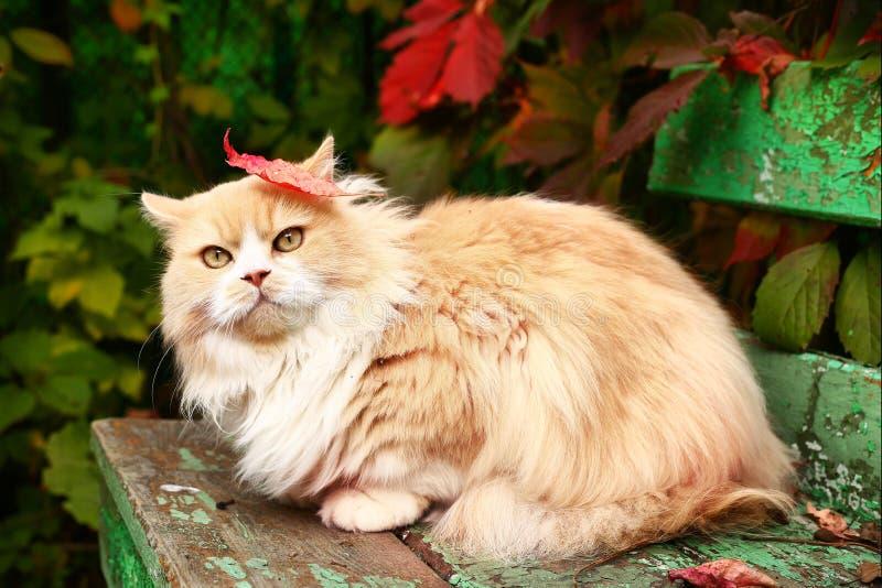 Perzische kat op de de herfstachtergrond royalty-vrije stock afbeelding