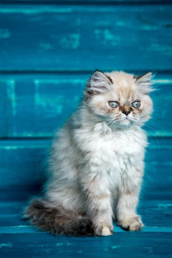 Perzische katjes blauwe achtergrond royalty-vrije stock afbeeldingen