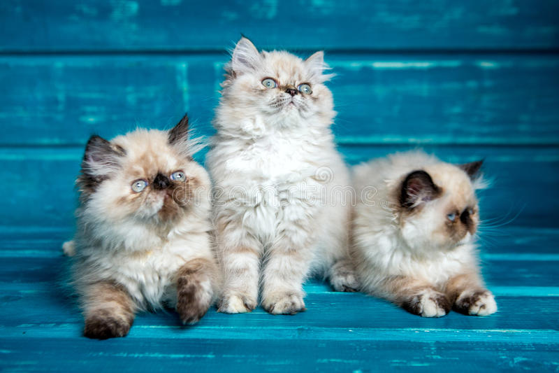 Perzische katjes blauwe achtergrond royalty-vrije stock foto's
