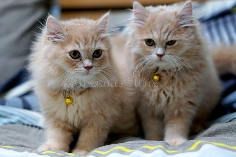Perzische katten leuk brunette stock afbeelding