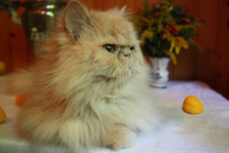 Perzische volwassen kat royalty-vrije stock afbeelding