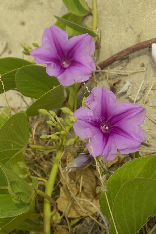 Pes-caprae Ipomoea ποδιών δόξας ή της αίγας πρωινού παραλιών στοκ εικόνα με δικαίωμα ελεύθερης χρήσης
