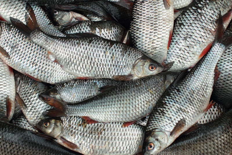 Pesca acertada de la cucaracha de la captura fotografía de archivo libre de regalías