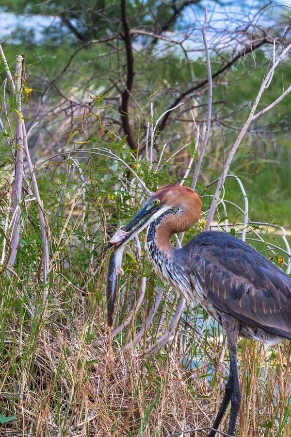 Pesca acertada Retrato de un pájaro Garza de Goliat con los pescados Lago Baringo, Kenia fotografía de archivo libre de regalías