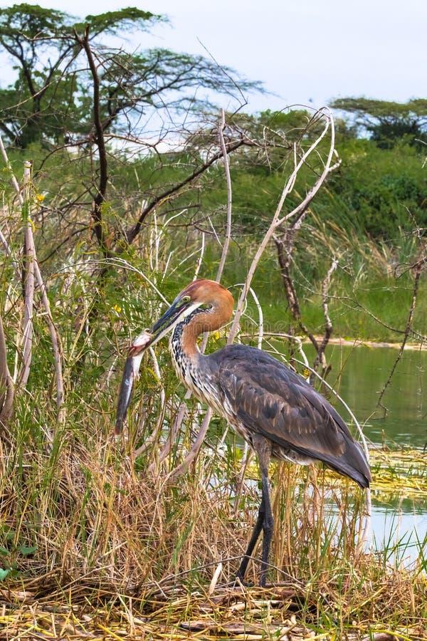 Pesca acertada Retrato de un pájaro satisfecho Garza de Goliat con los pescados Lago Baringo, Kenia fotografía de archivo libre de regalías