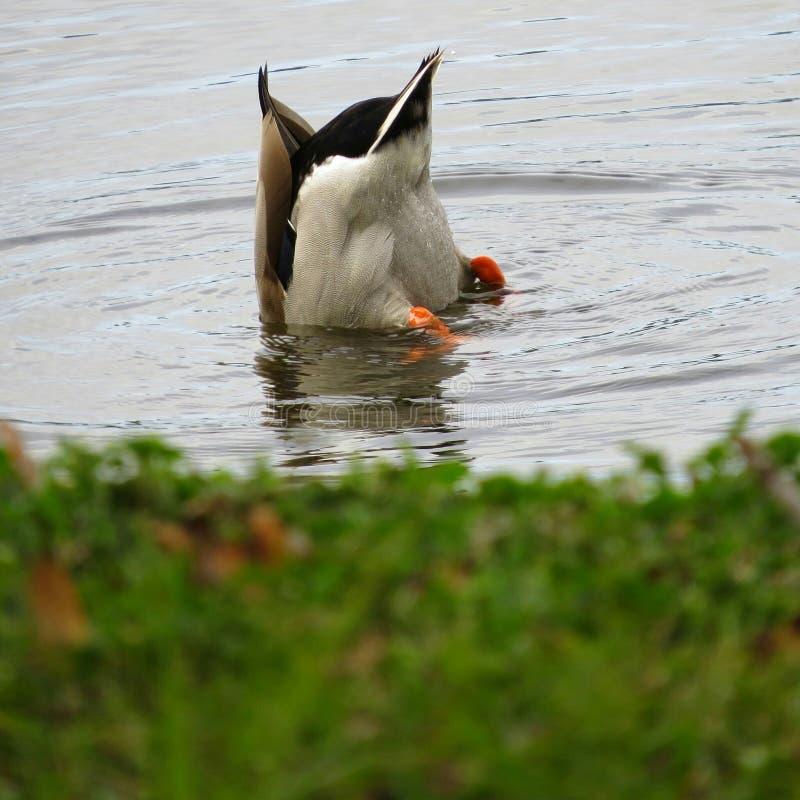 Pesca andata anatra fotografia stock libera da diritti