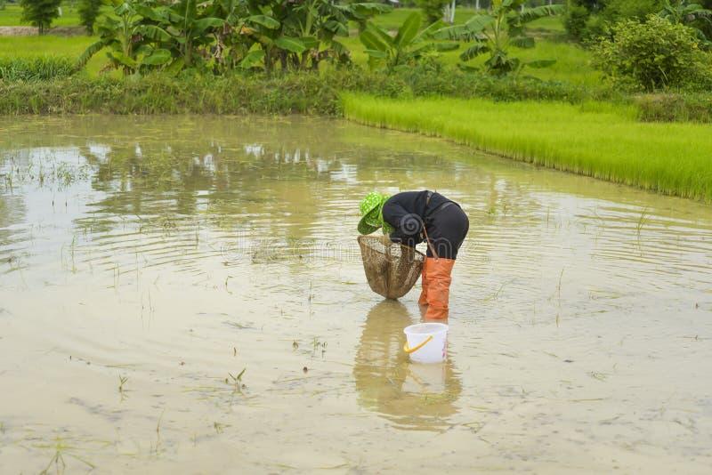 Pesca asiatica dell'agricoltore in un giacimento del riso fotografia stock