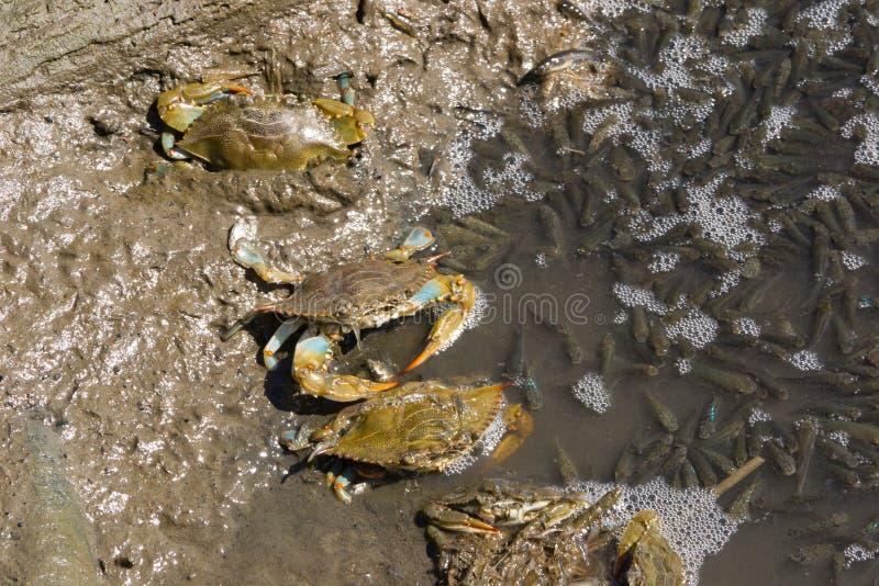 Pesca Atlântica Dos Caranguejos Azuis Fotos de Stock Royalty Free