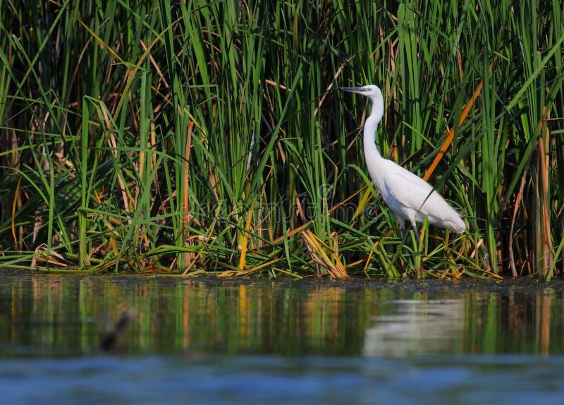 Pesca bianca di garzeta di Egreta del egret fotografie stock