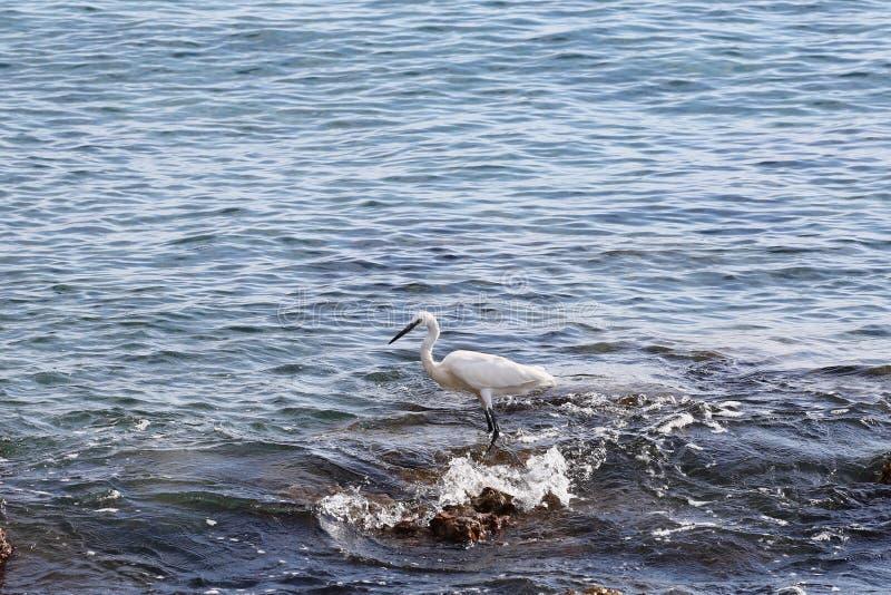 Pesca branca do egret fotos de stock royalty free