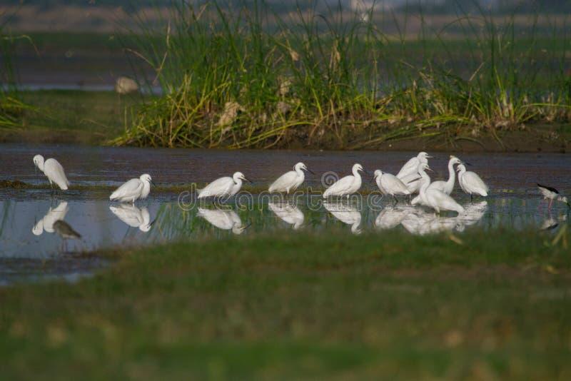 Pesca branca do egret em uma lagoa em um pantanal foto de stock