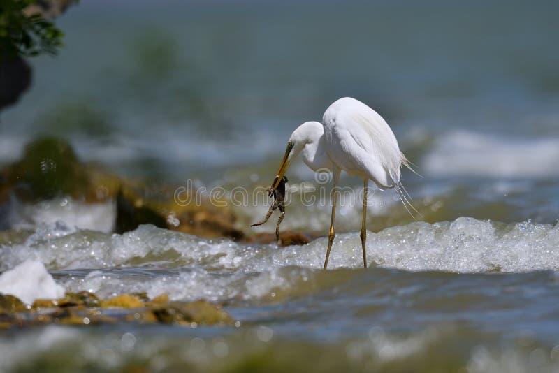Pesca branca grande do egret & x28; alba& x29 do ardea; imagem de stock royalty free