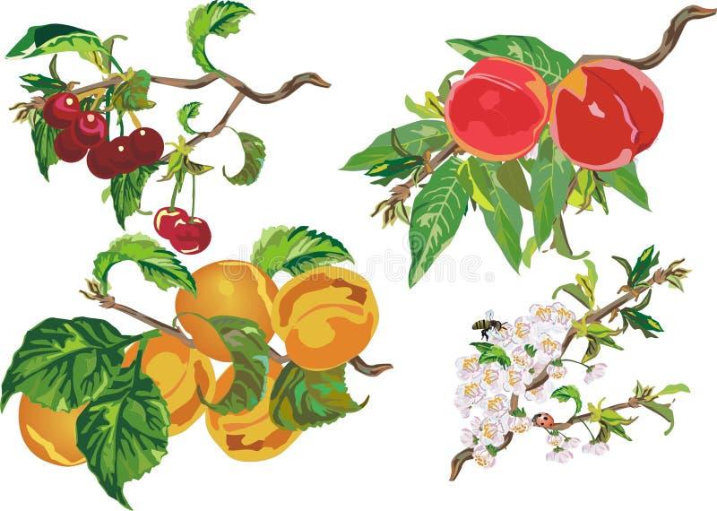 Pesca, ciliegia ed albicocca illustrazione vettoriale