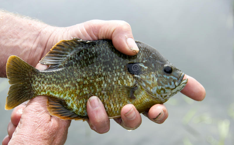Pesca cogida ascendente cercana del Lepomis macrochirus foto de archivo