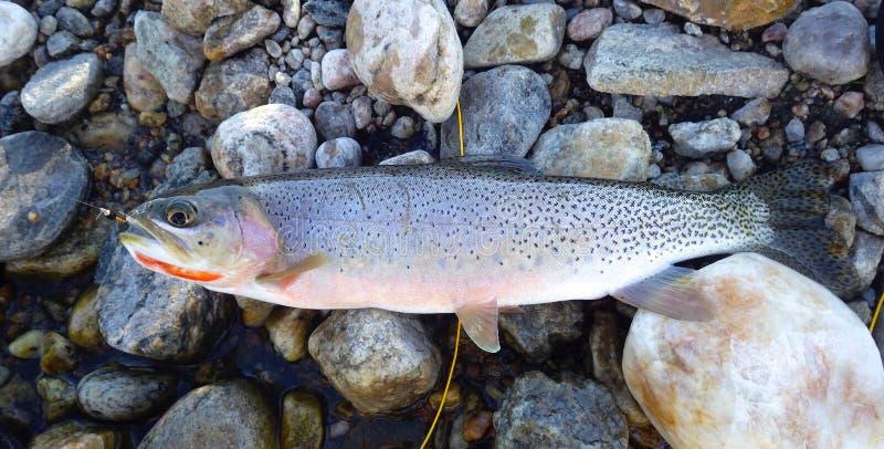 Pesca con la mosca presa trota che mette sul lato di Rocky Stream fotografie stock libere da diritti