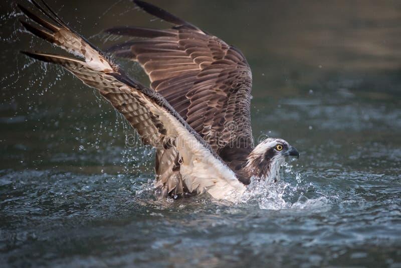 Pesca da águia pescadora imagens de stock