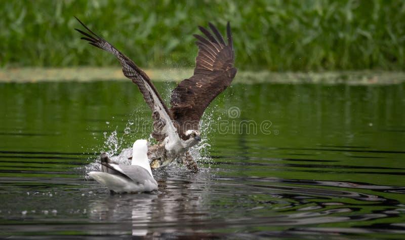 Pesca da águia pescadora em Maine fotos de stock