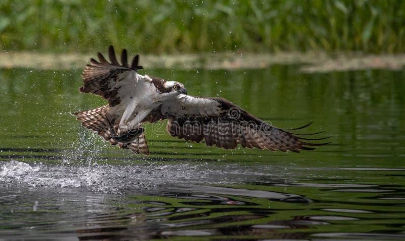 Pesca da águia pescadora em Maine imagem de stock