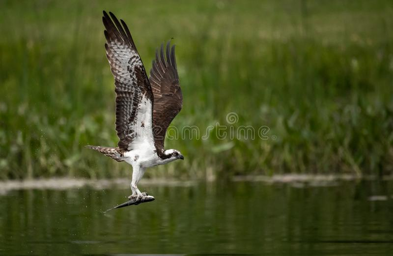 Pesca da águia pescadora em Maine foto de stock