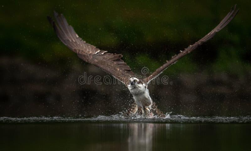 Pesca da águia pescadora em Maine fotografia de stock royalty free