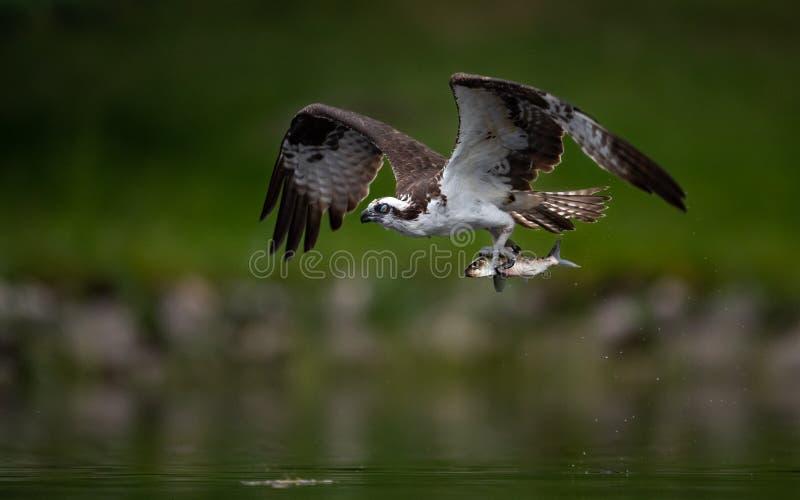 Pesca da águia pescadora em Maine fotografia de stock