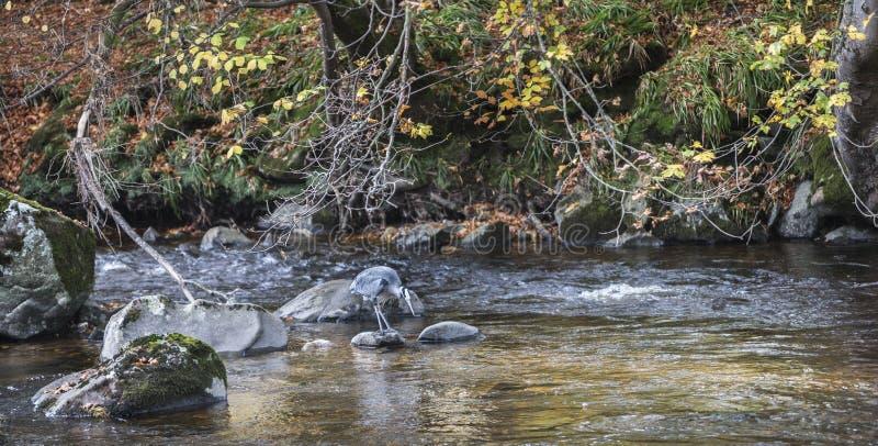 Pesca da garça-real no rio Deveron em Escócia foto de stock