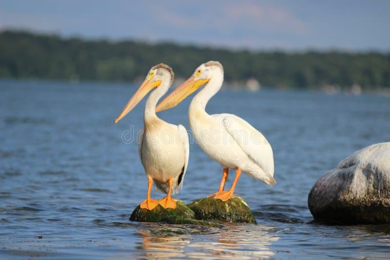 Pesca da ilha do pelicano nas rochas fotografia de stock royalty free