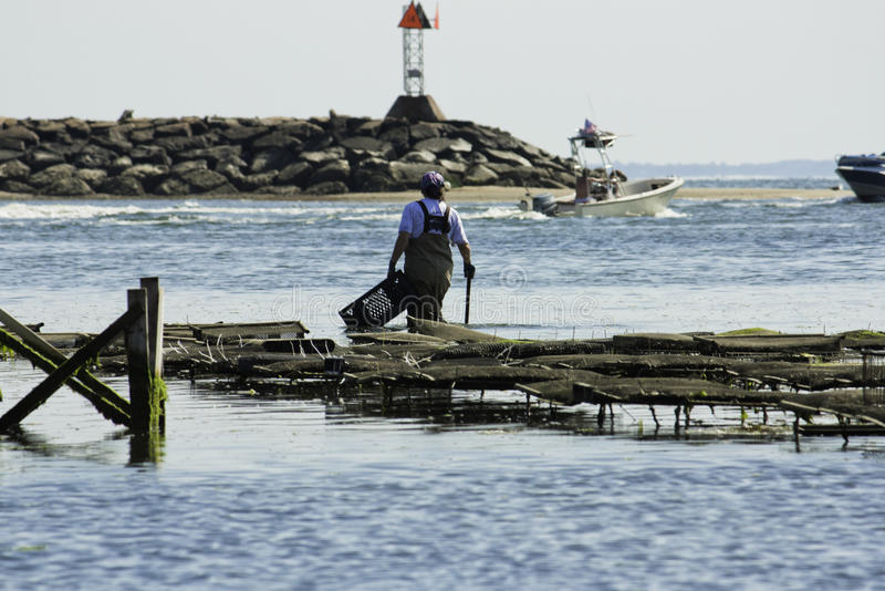Pesca da ostra da pessoa no porto de Wellfleet, Wellfleet, Massachusetts fotos de stock