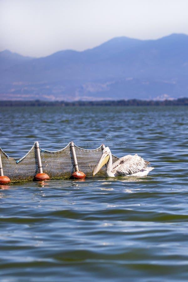 Pesca dalmata accanto ad una rete da pesca, lago Kerkini, Grecia del pellicano fotografia stock