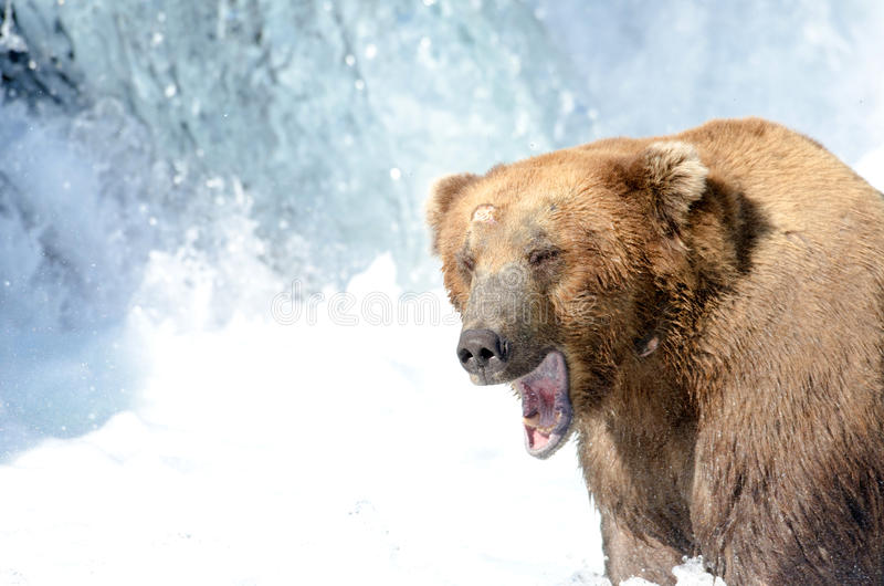 Pesca de Alaska del oso marrón para los salmones imagen de archivo