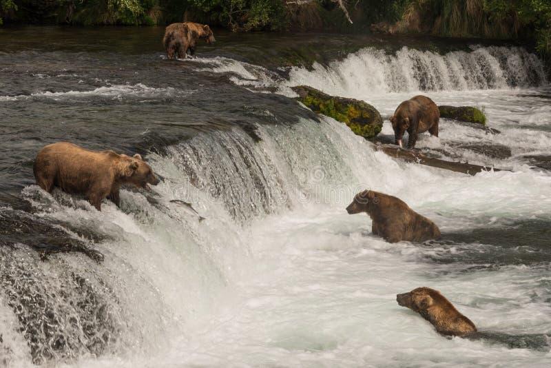 Pesca de color salmón de cinco osos en las caídas de los arroyos fotos de archivo libres de regalías