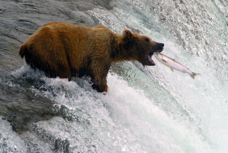 Pesca de color salmón del oso en Katmai foto de archivo libre de regalías