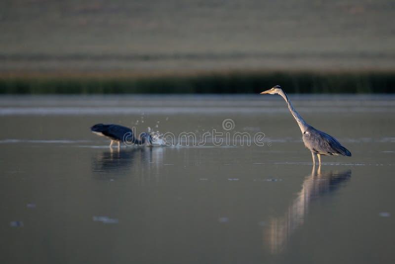 Pesca de Grey Herons antes de la puesta del sol imagen de archivo