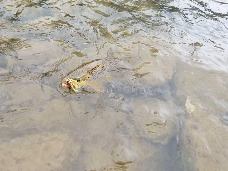 Pesca de la trucha de Brown imagen de archivo libre de regalías