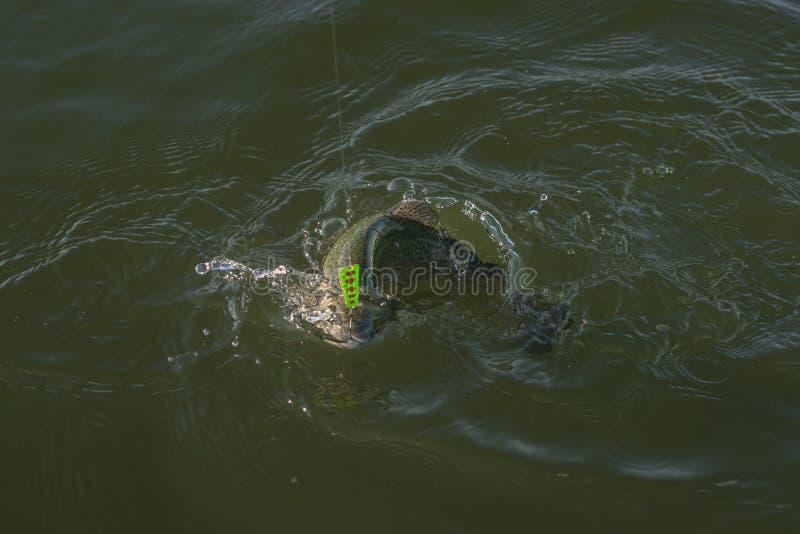 Pesca de la trucha del área Los pescados de color salmón cogidos saltan en agua con salpicar foto de archivo
