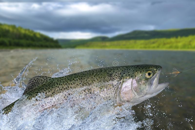 Pesca de mosca em ?guas calmas Peixes da truta arco-íris que saltam para travar o inseto sintético com espirro na água foto de stock royalty free