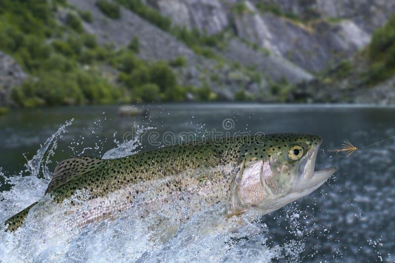 Pesca de mosca en aguas tranquilas Pescados de la trucha arco iris que saltan para coger el insecto sintético con salpicar en agu imagen de archivo
