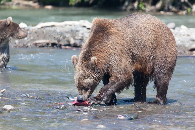 Pesca del grisáceo de los osos en agua en el lago y la montaña azules del fondo kamchatka imagen de archivo