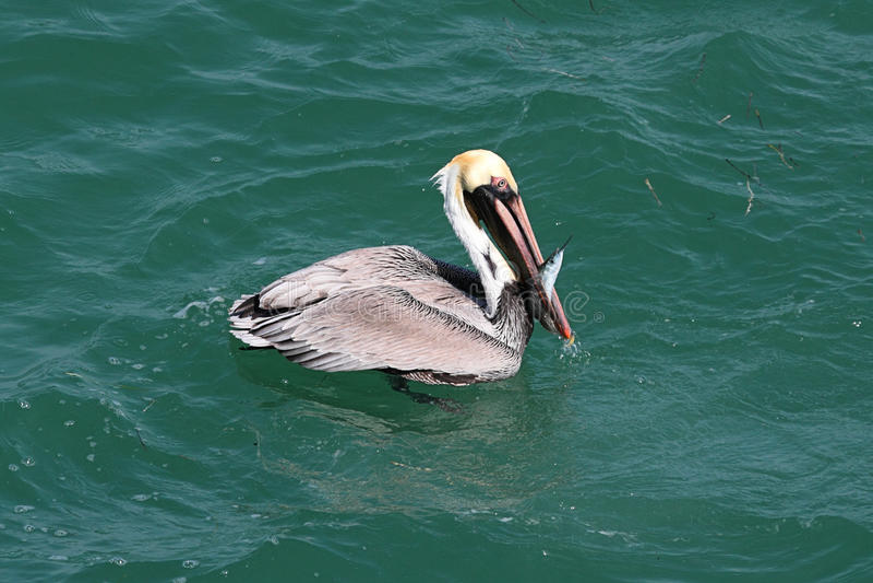 Pesca del pelícano de Brown en el golfo fotografía de archivo libre de regalías