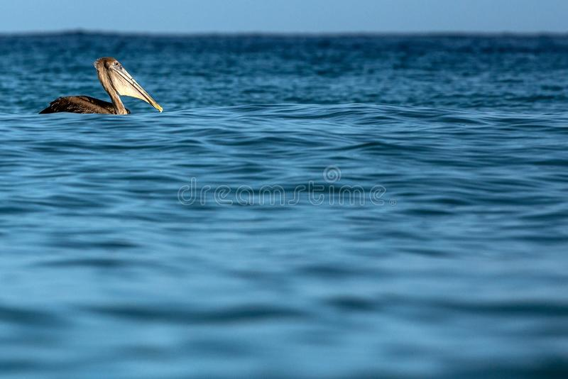 Pesca del pelícano de Brown, occidentalis del Pelecanus que flotan en la superficie del mar, isla de Trinidad y Tobago fotografía de archivo libre de regalías