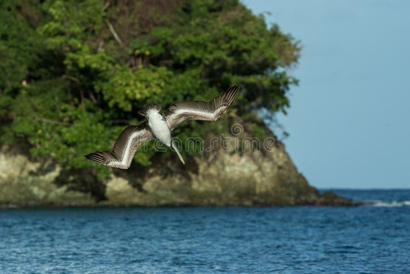 Pesca del pelícano de Brown, occidentalis del Pelecanus que vuelan con las alas extendidas hacia el mar, isla de Trinidad y Tobag imagenes de archivo