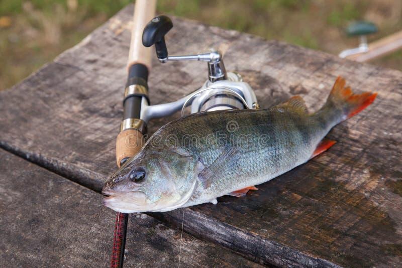 Pesca del trofeo Equipo de agua dulce grande de la perca y de pesca en fondo de madera imágenes de archivo libres de regalías