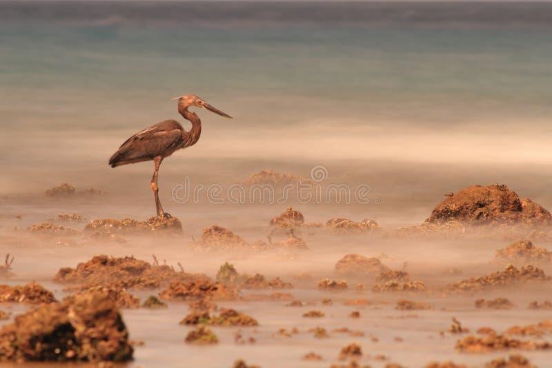 Pesca dell'airone dalle rocce in Sulawesi fotografia stock libera da diritti