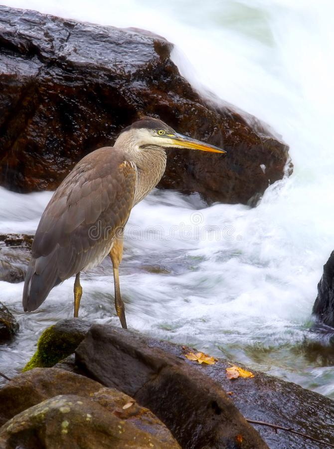Pesca dell'airone per il pasto fotografia stock