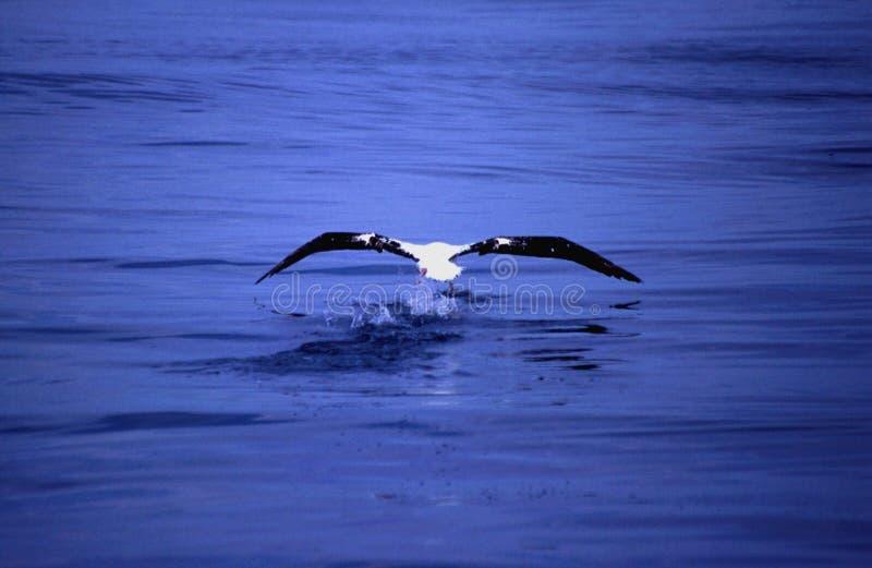 Pesca dell'albatro dal mare