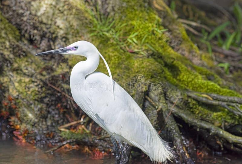 Pesca dell'uccello del aigrette fotografie stock