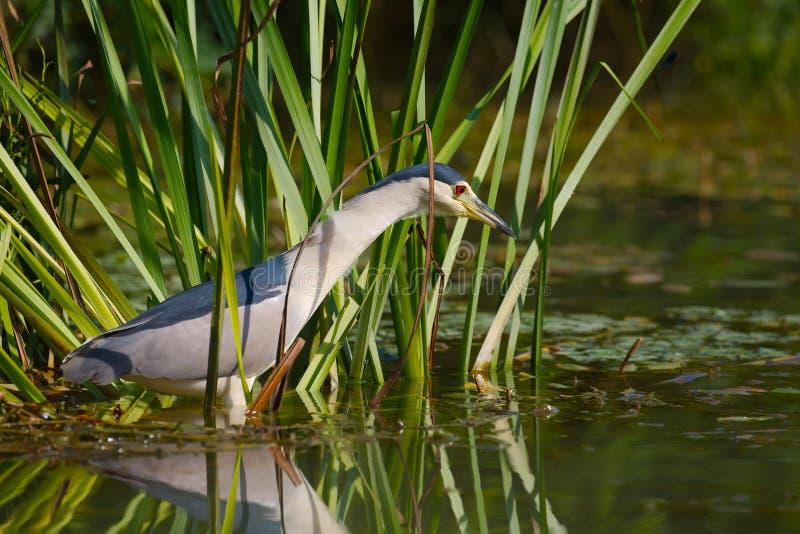 Pesca dell'uccello nel lago immagini stock